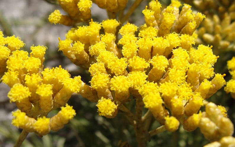 Helichrysum Oil for Dogs